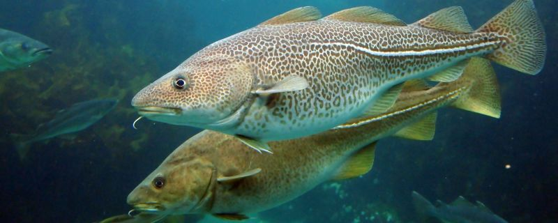 North East arctic cod